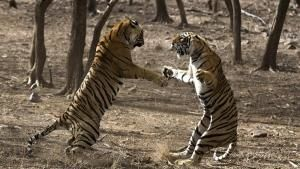 Clash of Tigers