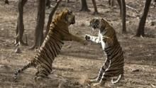 Clash of Tigers show