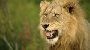 Predator Land: Lions and Leopards