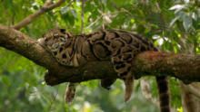 India's Wild Leopards show