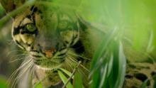 قطط الهند البرية برنامج