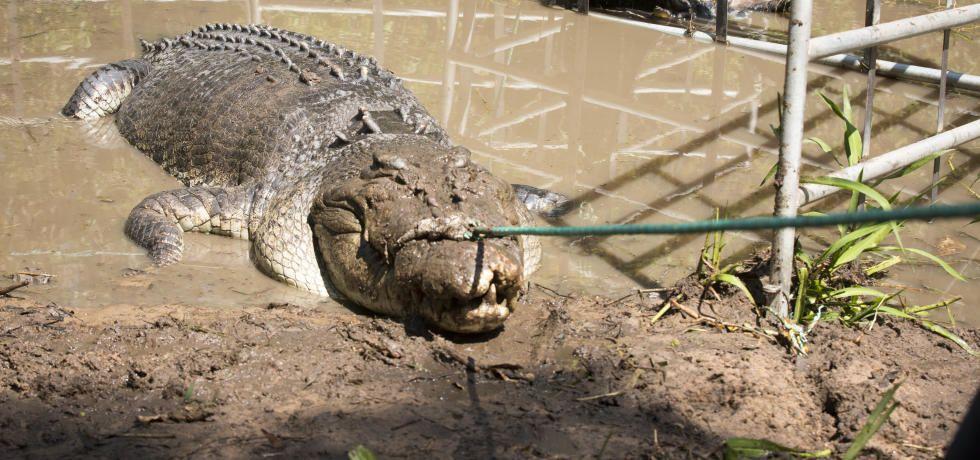 Monster Croc Wrangler