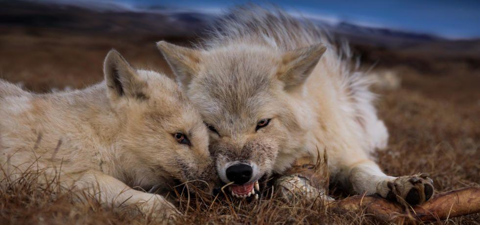 مملكة   الذئب   القطبي