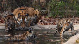 انقراض   النمور