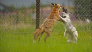 ألاسكا وإنقاذ الحيوانات