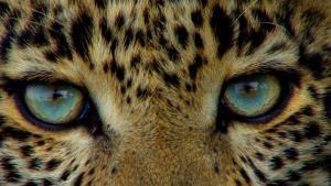 Jade Eyed Leopard show