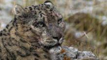 Frozen Kingdom of The Snow Leopard  show