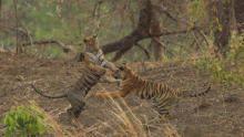 Tiger Queen of Taru show
