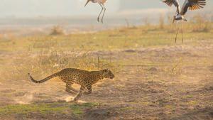 A Leopard's Legacy show