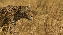 Leopard & Hyena: Strange Alliance show
