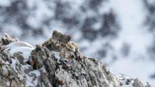 雪豹的冰凍國度 節目