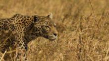 花豹與鬣狗:奇怪同盟 節目