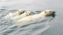 خاص اليوم العالمي للدب القطبي برنامج