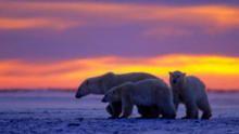 Kingdom of the polar bears show