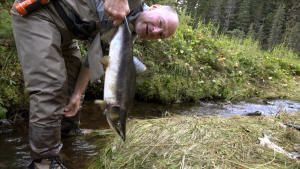 تحدي دببة ألاسكا الرمادية