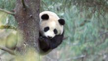 Panda goes wild show