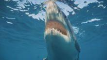 Killer Whale vs. Great White show