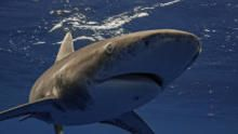 World's Deadliest Shark show