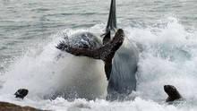 Orca Killing School show