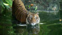 Malaysia's Last Tigers show