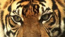 最後的蘇門答臘虎 Sumatra's Last Tiger 節目