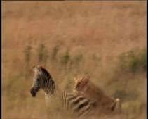 Lions Hunt photo