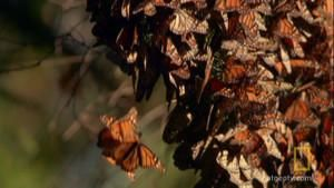 Monarch Mating photo