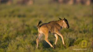 Wildebeest Death Trek 照片