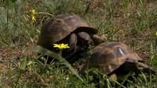 Spur-Thighed Tortoise Courtship show
