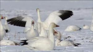 The Arctic Snow Geese photo