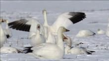 The Arctic Snow Geese show