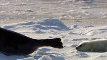 The Arctic Harp Seals show