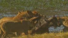 Buffalo Hunting show