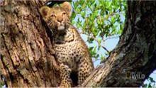 Leopard Kittens show