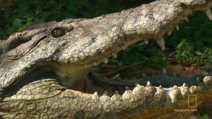 The Nile Crocodile photo