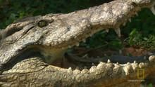 The Nile Crocodile show