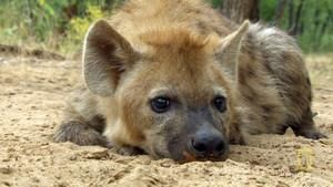 Hyena Shoot photo
