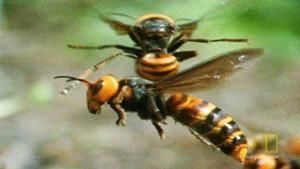 Attack of the Japanese Giant Hornets photo