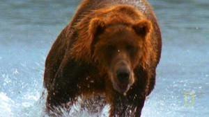 Bear Chase photo