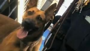 NYPD Hounds photo