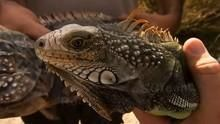 The Search For Iguana show