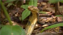 Largest Venomous Snake show