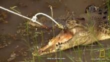Wild Croc Catch show