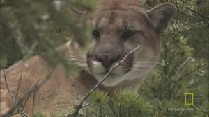 Cougar Capture photo
