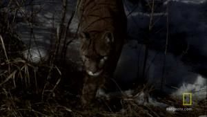 Cougar Night Hunt photo