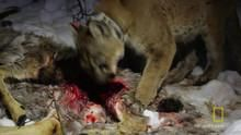 Eat Like a Cougar show