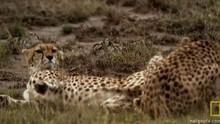 Lustful Cheetahs show