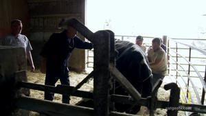 Untwisting a Cow Storm 照片