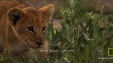 Lion Cub Adventures show