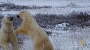 Polar Bear Survival 照片